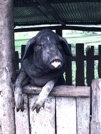 A hungry black pig