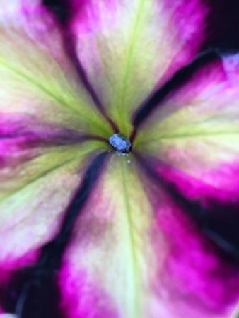 closeup: Petunia