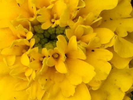 closeup: Marigold