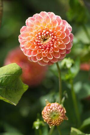 개화하지 않은 두 번째 꽃과 만발한 달리아 꽃. 스톡 콘텐츠