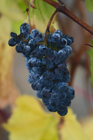 pinot noir: A cluster of Pinot Noir grapes hangs on the vine.  Since it was missed in the harvest the grapes have started to wrinkle.