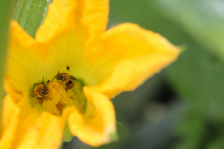 Two honey bees sharing a zucchini flower in a garden.