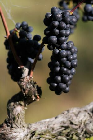 pinot: A cluster of pinot noir grapes still hanging on the vine. Stock Photo