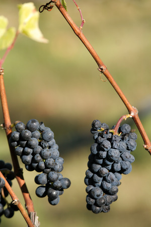 pinot noir: A cluster of pinot noir grapes still hanging on the vine. Stock Photo