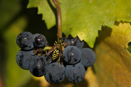 pinot noir: A wasp inspecting a cluster of pinot noir grapes.
