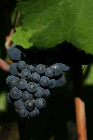 pinot noir: A cluster of pinot noir grapes being shielded by a leaf. Stock Photo
