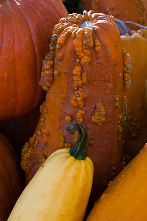 warts: A pumpkin with warts in the middle of a box full of pumpkin. Stock Photo