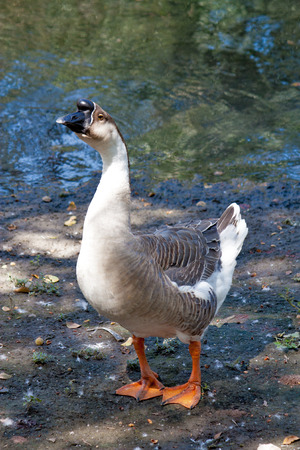Angry African Swan Goose Stock Photo