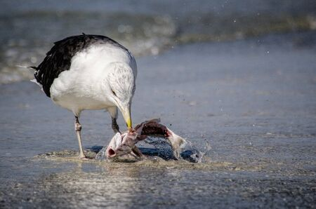 Seagull feeding on fish