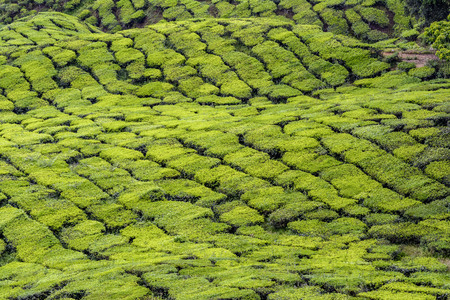 Detailed telephotography of freshly green tea plantation in Cameron Highlands