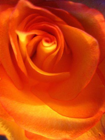 splendour: rose in light