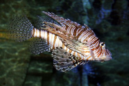 red lionfish Stock Photo - 3190421