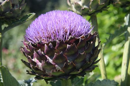 artichoke flower Stock Photo