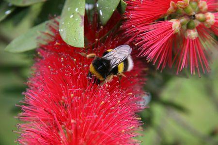 bumblebee pollinats a flower