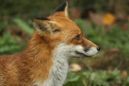 hydrophobia: red fox