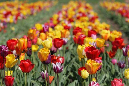 tulip field Stock Photo - 7415154