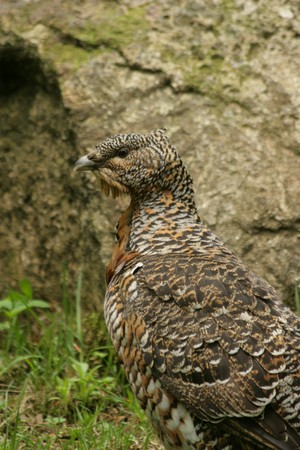 capercaillie Stock Photo