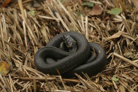 natrix: ring snake