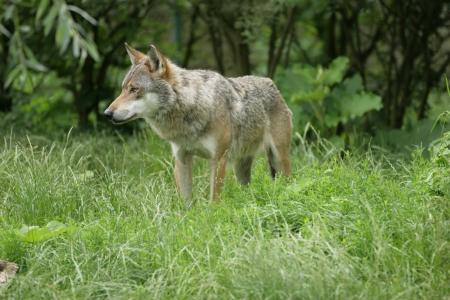gregarious: wolf Stock Photo