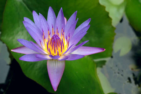 Bright purple water lily flower blooming in a pond