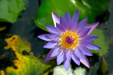 Top view of a blooming purple water lily in a pond