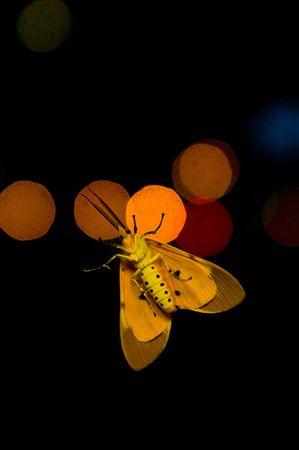 Underside of a moth at night