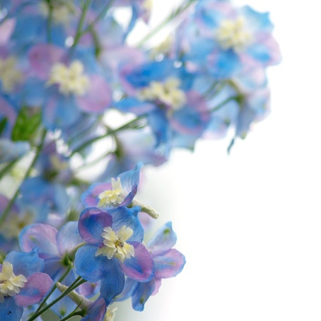 blue flowers: Blue flowers on a white background