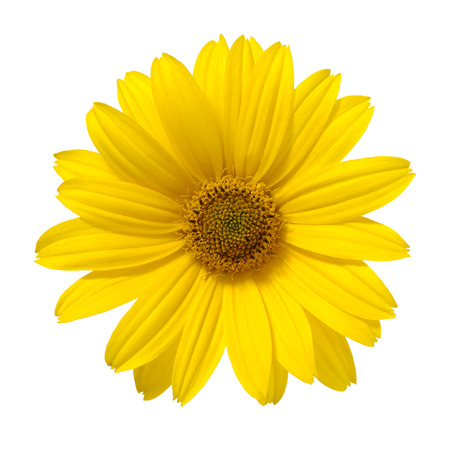 white daisy: yellow daisy flower isolated on white background