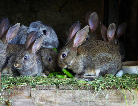 brood: A female rabbit with a brood of young rabbits. Rabbit farm.