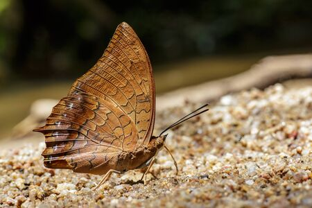 The Tawny Rajah butterfly on the ground Stock Photo