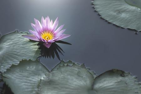 Close up purple lotus lily