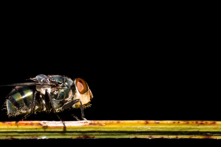 Fly on grass, macro of fly on black background, close-up insect in nature 免版税图像