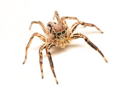 Spinne isoliert, Makroinsekt im wilden Leben, Tier in freier Wildbahn, Tierisolat Standard-Bild