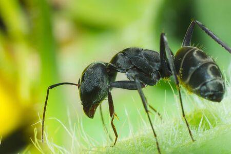 Black ant in macro view