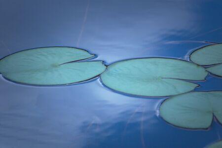 the lotus leaf pattern in pond, the leaf in nature Zdjęcie Seryjne