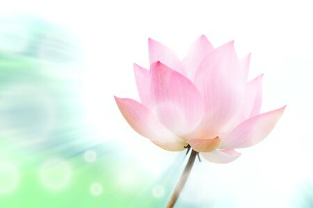 The pink lotus flower in nature background, flower and leaf texture