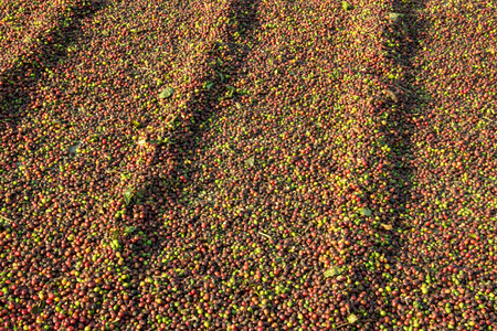 Fresh coffee grains drying at the sun Stock Photo
