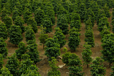 Coffee field in south east of Brazil