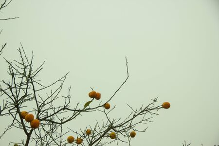 albero secco: Un albero secco arancione che ancora con frutta