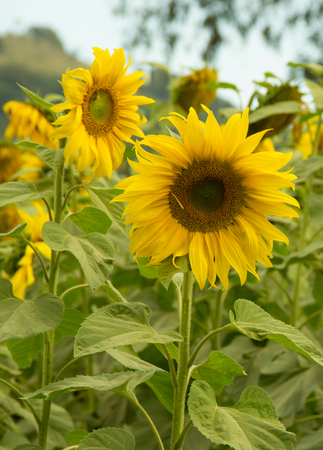 Sunflowers growing in a garden on a farm in South- West Brazil photo