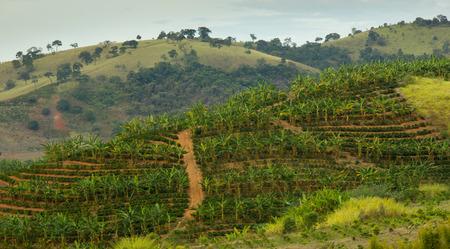 Banana and Coffee plantation in the same area Zdjęcie Seryjne - 30455672