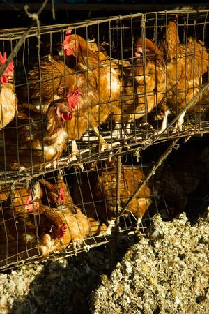 third world: Third world country egg farm