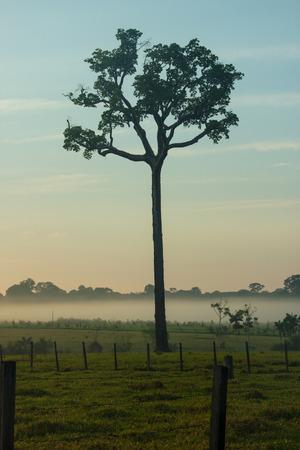 Enkele boom van Brazilië noten in het midden van een weiland in het Braziliaanse Amazonegebied