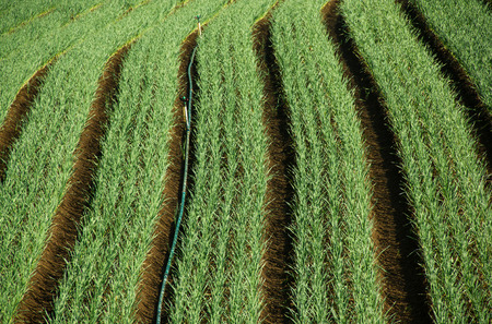 Onion plantation in rows with irrigation system