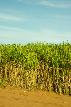 Sugar Cane Plantation in South-West Brazil for production of Sugar or Etanol or Alcohol photo