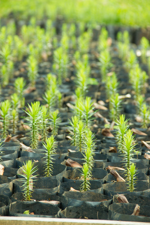 Young Araucaria Tree in Nursery Bags