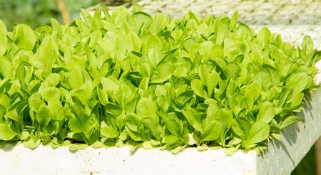 Organic Lettuce Seedlings in white Tray Zdjęcie Seryjne - 44844083
