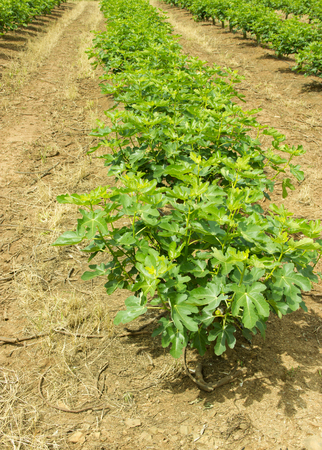 Plantation of Fig Trees in Lines