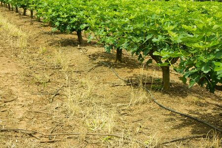 Plantation of Fig Trees with Irrigation Hose