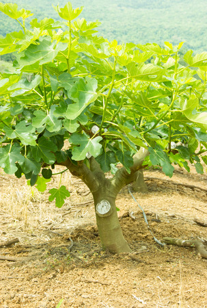 Plantation of Fig Trees on the Summer